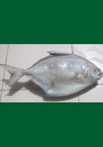 Silver pomfret (Zobeidi) 10 kg 200/300  (Fryst)