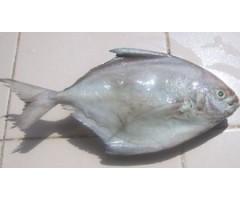 Zobeidi (Silver pomfret)