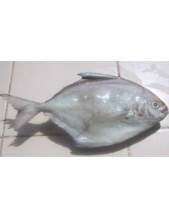 Zobeidi (Silver pomfret) 1kg