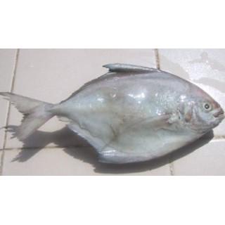 6010-Silver pomfret (Zobeidi) 10kg 200/300 Fryst